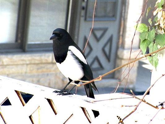 boulderbird