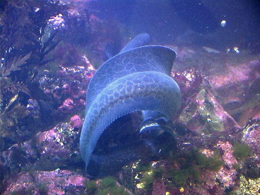 fishoid1c